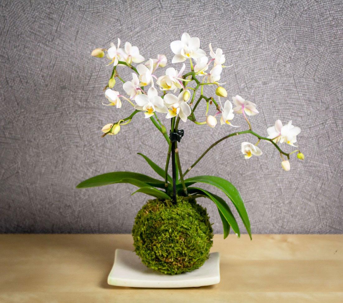 Kokedama orchidée