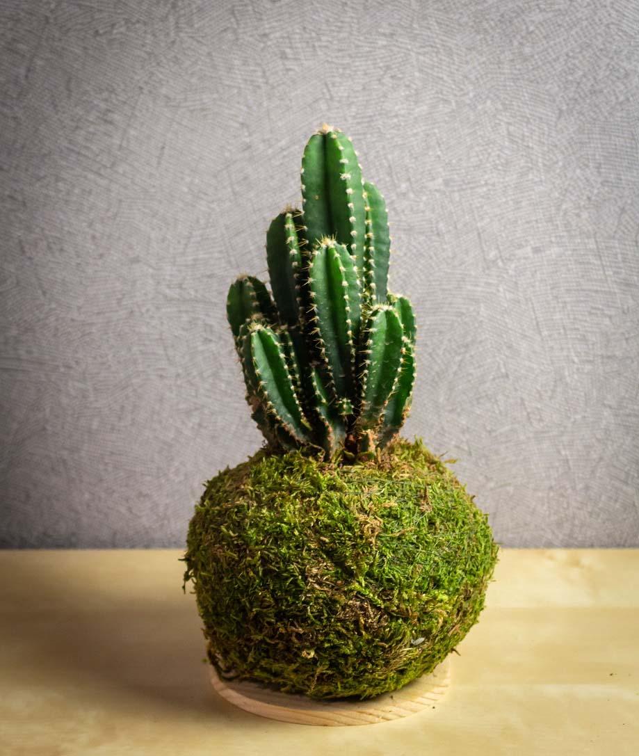 Kokédama Cactus
